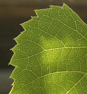 Leaf2627
