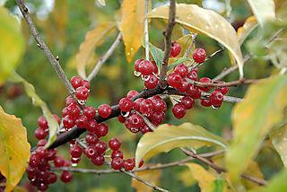 Berries4737