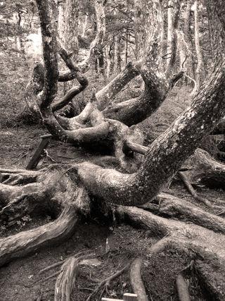 Gnarledtreeswarm