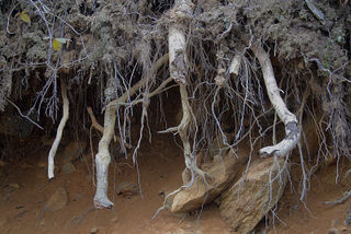 Roots5764