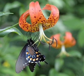 Lily&Butterfly