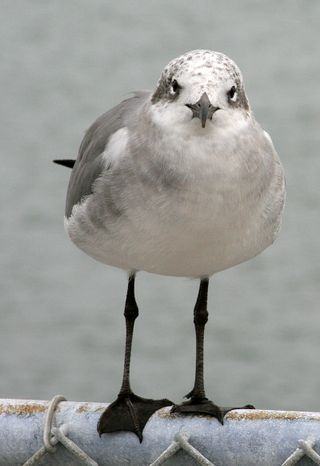 Seagull8196