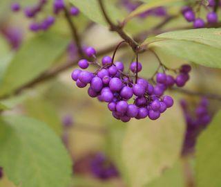 Purple7912
