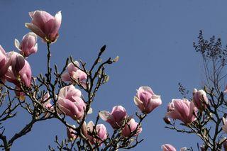 Magnolias8533
