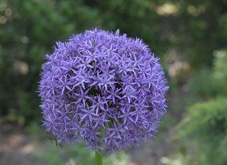 Globeflower8687
