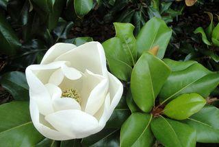 Magnolia3157