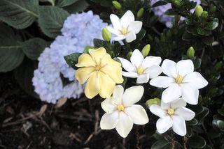 Gardenias3147