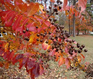 Leaves&pods4997