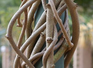 Twinedbranches9110