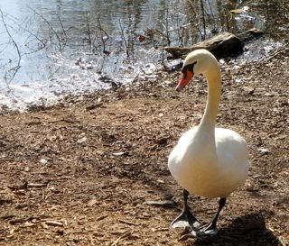 SwanFeb