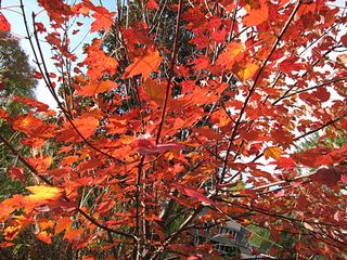 Redmaple0674