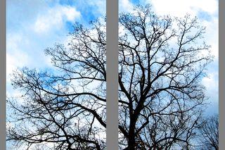 Winter tree split