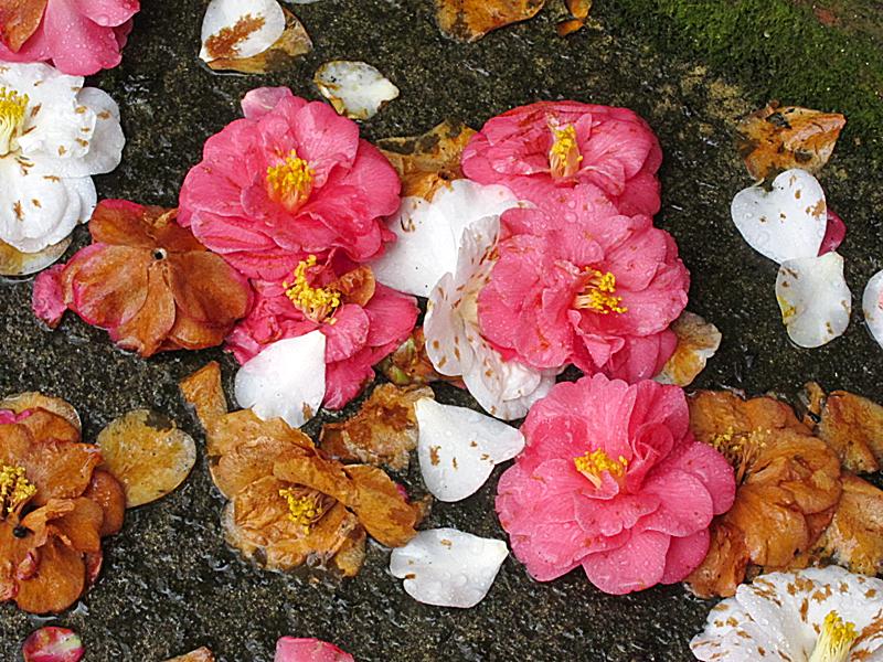 Camellias1801