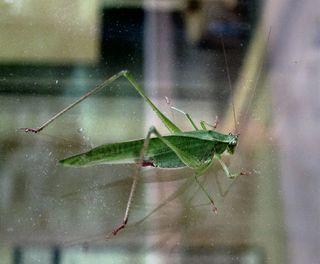 Grasshopperflipped0082