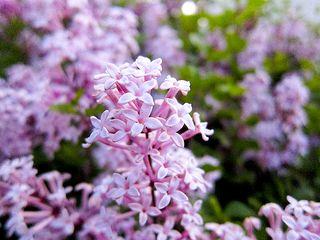 Lilac2922
