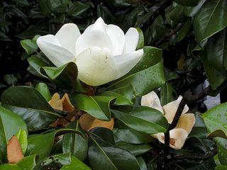 Magnolia3079