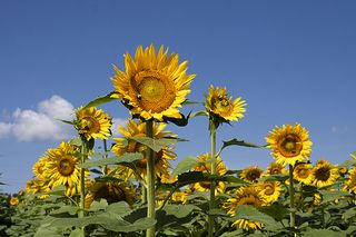 Sunflowers0454