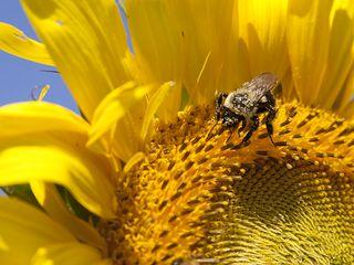 Beeonsunflower0440