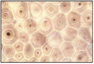 Bamboo under microscope