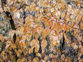 Birches3993