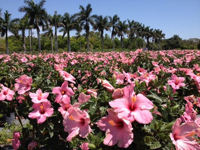 Hibiscus Nursery South Florida