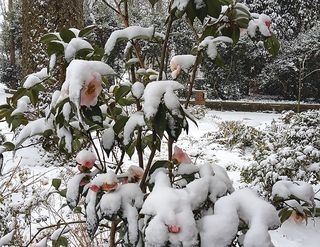 Camelliasinsnow