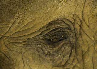 1436 Elephant Eye