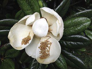 Magnoliaredux