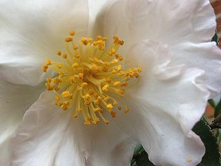 Camellia9