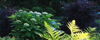 Hydrangea&ferns