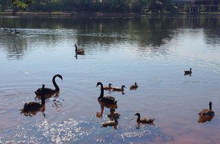 Ducks&swans