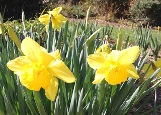 Daffodils0120