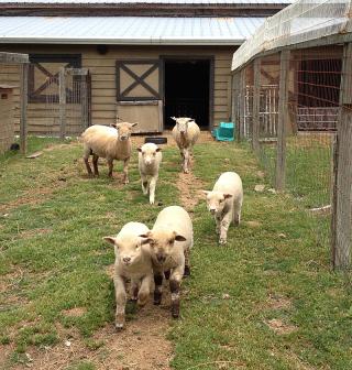 Sheep0484