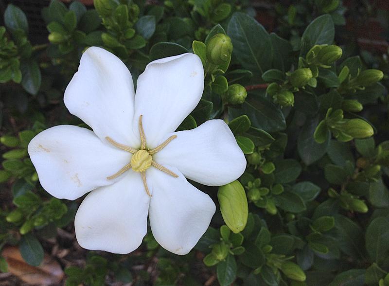 Gardenia0478