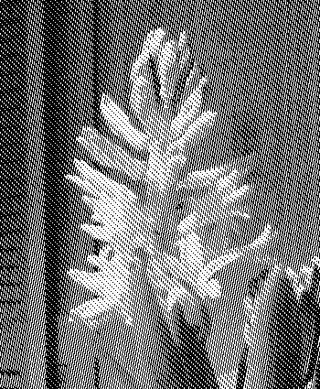 Hyacinth8153
