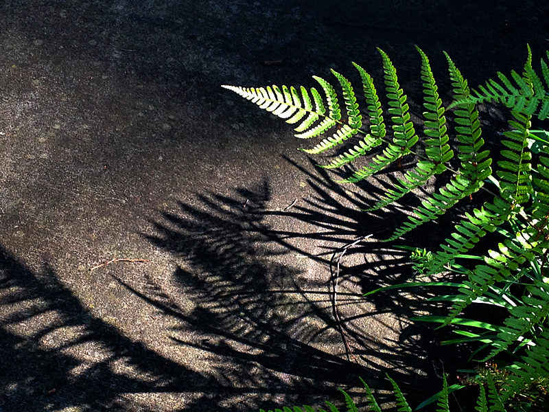 Fern&shadow_edited-1