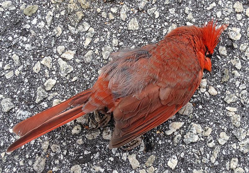 Cardinal9606
