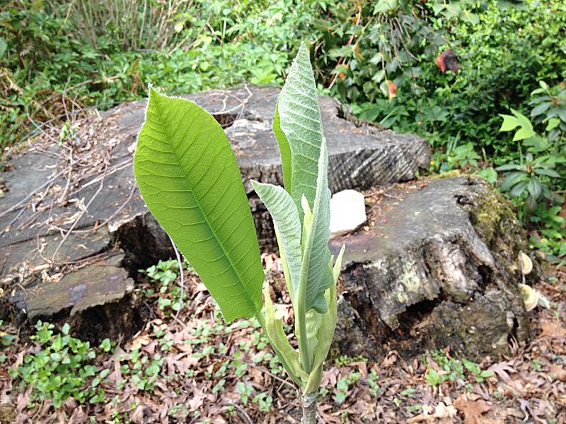 Magnolia0422