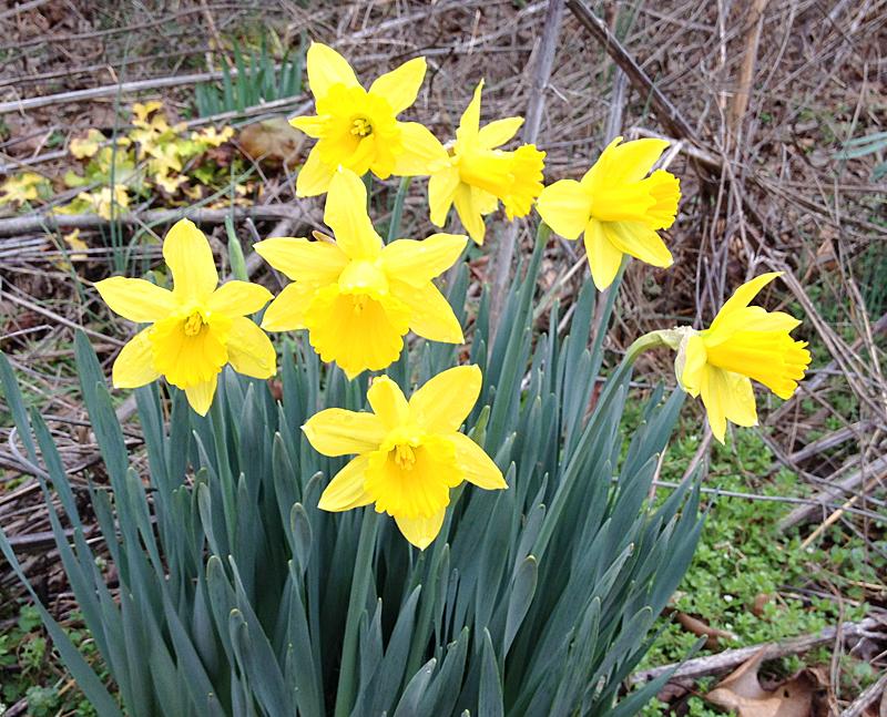 Daffodils1943