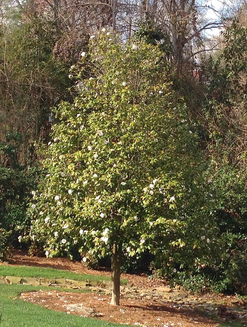Camellia1966