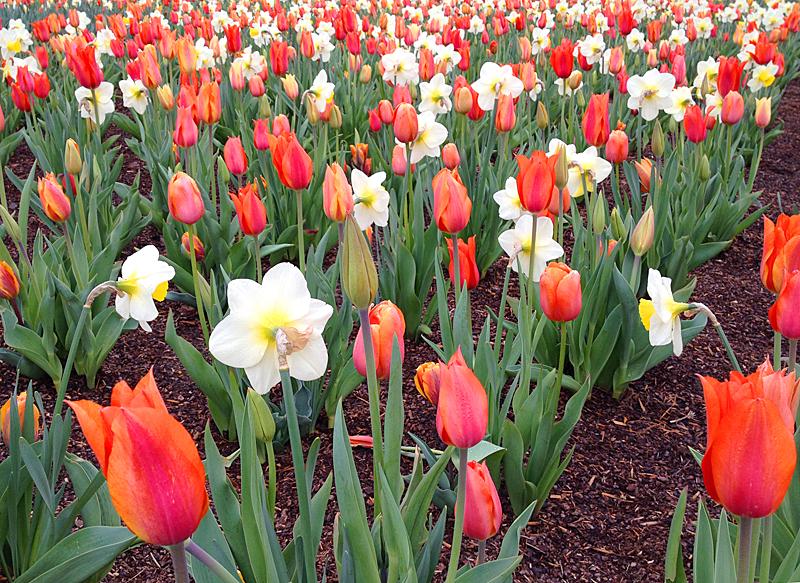 TulipsBiltmoreclose2185
