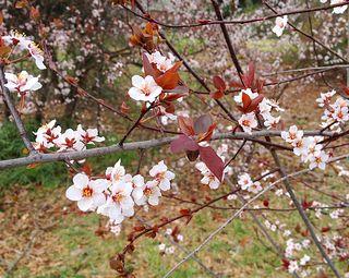 Blossoms8361