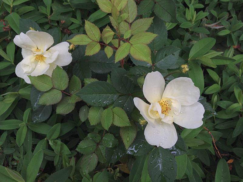 Whiteroses8579