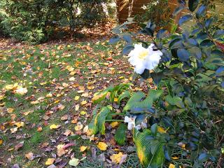 Camellia9594