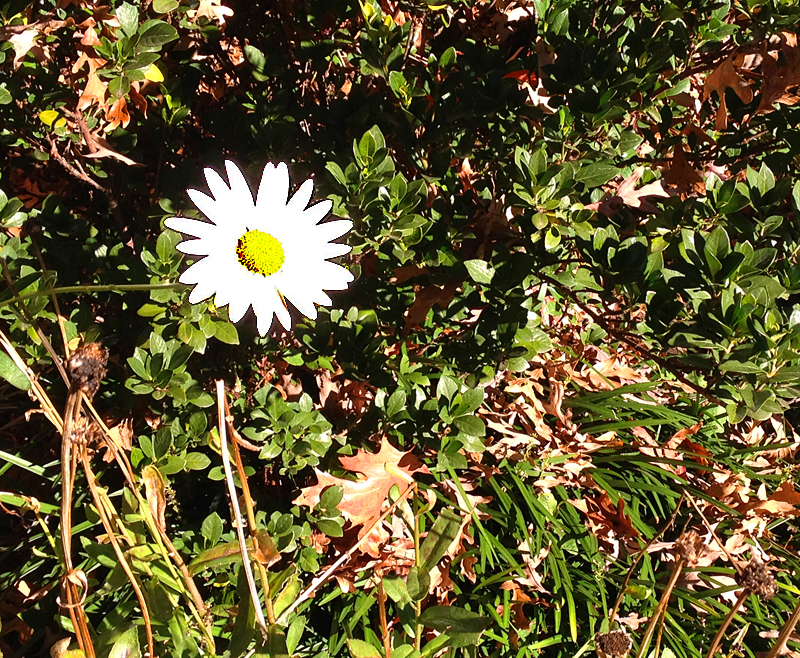 Lone daisy_edited-1