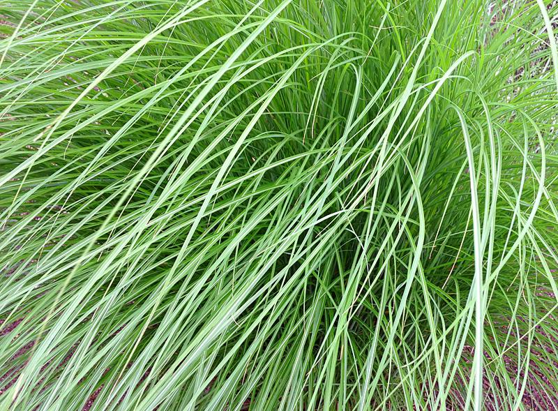Grasses2319