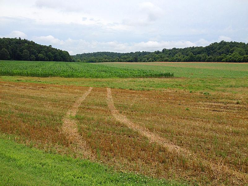 Rapeseed fields2418