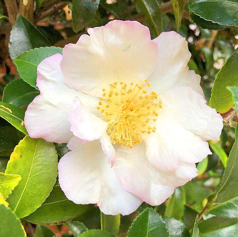 Gardenia3202