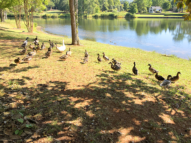 Ducks4681