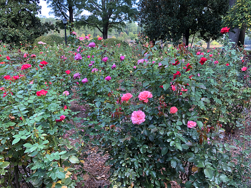 Rosegarden4806